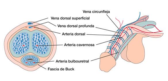 Andrología « Urólogo en Valladolid – Clinica urológica Dr. Ruiz Serrano